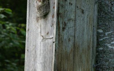 Lehtopöllö arboretumissa